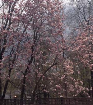 Magnolia; 2015